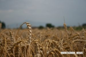 Weizen im Juli, Homeschool News, Jan und Bernice Zieba