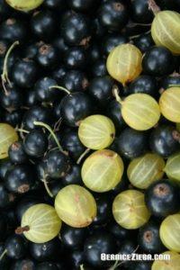 Schwarze Johannisbeeren, Stachelbeeren