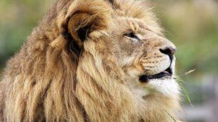 Lion, Aslan, Narnai, Homeschool News and Blog, Bernice Zieba